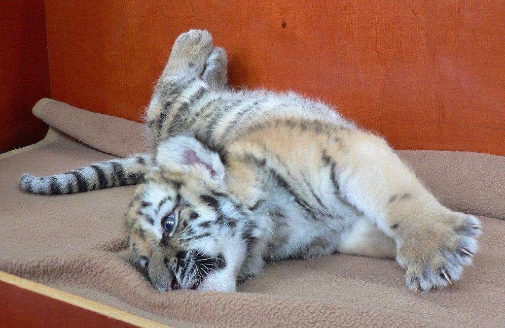 "Amur-Tiger ""Tschuna"""